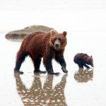 Brown bears (grizzlies) at Silver Salmon Creek